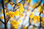 Wintersweet — Stock Photo