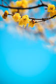 Yellow plum blossom in winte — Stock Photo