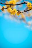 Gelbe pflaumenblüte in loden — Stockfoto