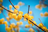 Yellow wintersweet flower in winter — Stock Photo