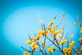 Wintersweet with blue sky — Stock Photo