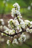 Plum tree flower in spring — Stock Photo
