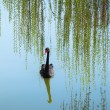 Willow branches and black swan — Stock Photo