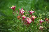 Linaria vulgaris — Стоковое фото