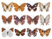 Tolv pensel-footed fjäril — Stockfoto
