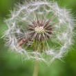 Dandelion macro and a small insect — Stock Photo #45436287