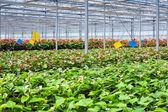 Växthusgaser blomma växt — Stockfoto