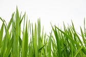 Fresh green grass isolated — Stock Photo