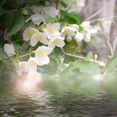 Shrubbery jasmine — Stock Photo