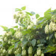 Stock Photo: Humulus lupulus