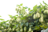 Humulus lupulus — Stock Photo