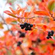 Rowanberry — Stock Photo #35997723