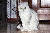 Gri kedi — Stockfoto
