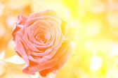 Flower rose — Stock Photo