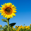 Landscape with sunflower - Foto Stock