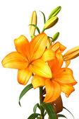 オレンジ色のユリ — ストック写真