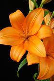 Lys orange — Photo