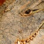 Head of crocodile — Stock Photo #13205666