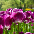 Purple Dutch tulip Tulipa — Stock Photo #25947317