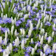 Field with white Muscari botryoides - Stock Photo