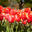 "Stock Photo: Red Dutch tulip ""Tulipa"" flower in closeup"