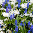 Stock Photo: Field with blue Muscari botryoides and white Myosotis