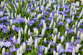Field with white Muscari botryoides — Stock Photo