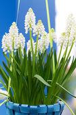 White Muscari botryoides in closeup — Stock Photo