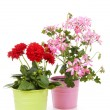 Dahlia and Geranium flowers in pot — Stock Photo