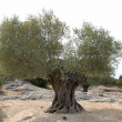Old olive tree in rocky environment — Stok fotoğraf