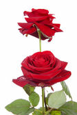 Two red roses isolated on white background — Stock Photo