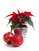 Special Christmas plant Poinsettia — Stock Photo