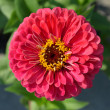 Stock Photo: Zinnielegans flower