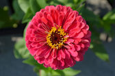Zinnia elegans flower — Stock Photo