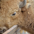 Stock Photo: Bison eat