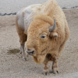 Stock Photo: Bison american
