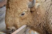 Bison eat — Stock Photo