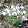 Stock Photo: Snowdrop