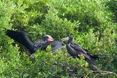 Magnificent Frigatebird (Fregata magnificens) — Fotografia Stock