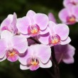 Phalaenopsis - Stock Photo