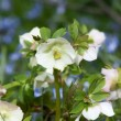 Stock Photo: Helleborus niger