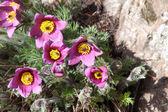 Pasque flower — Stock Photo