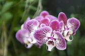 Phalaenopsis — Stock Photo