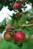 Orrganic red apples on a tree — Stock Photo