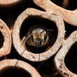 Leaf-cutter bee - Stock Photo