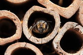 Leaf-cutter bee — Stock Photo