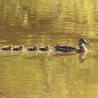 Ducks with young chicks swimming in lake — Stock Photo