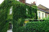 House covered in ivy — Stock Photo