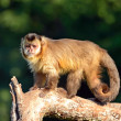 Monkey on a branch — Stock Photo