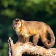 Monkey on a branch — Stockfoto